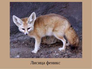 Лисица феникс
