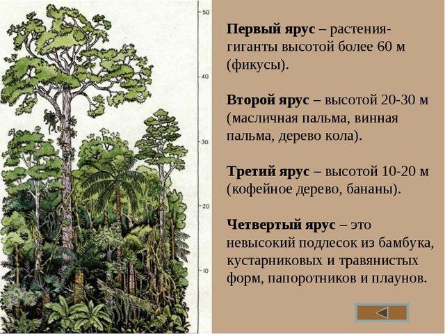 Первый ярус – растения-гиганты высотой более 60 м (фикусы). Второй ярус – выс...