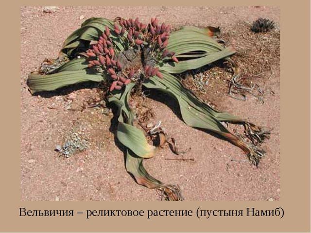 Вельвичия – реликтовое растение (пустыня Намиб)