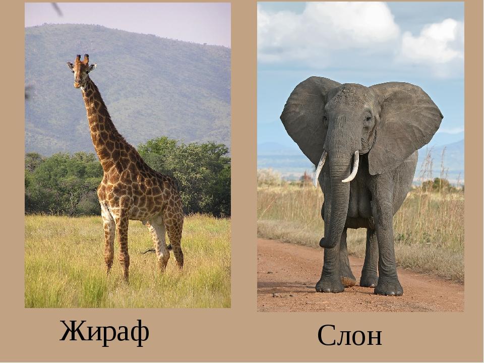 Жираф Слон