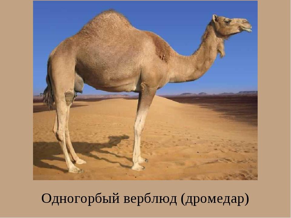 Одногорбый верблюд (дромедар)