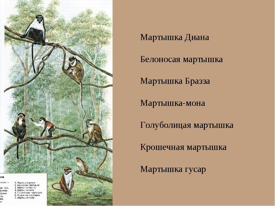 Мартышка Диана Белоносая мартышка Мартышка Бразза Мартышка-мона Голуболицая м...