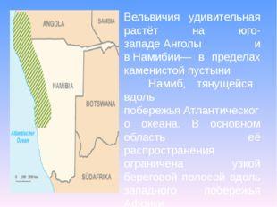 Вельвичия удивительная растёт на юго-западеАнголы и вНамибии— в пределах ка