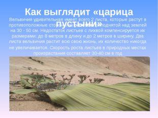 Вельвичия удивительная имеет всего 2 листа, которые растут в противоположные