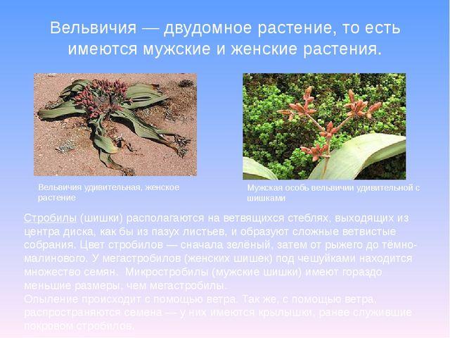 Вельвичия—двудомное растение, то есть имеются мужские и женские растения. ...