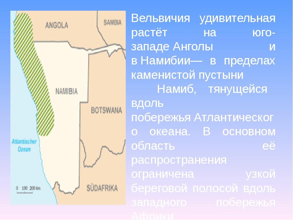 Вельвичия удивительная растёт на юго-западеАнголы и вНамибии— в пределах ка...