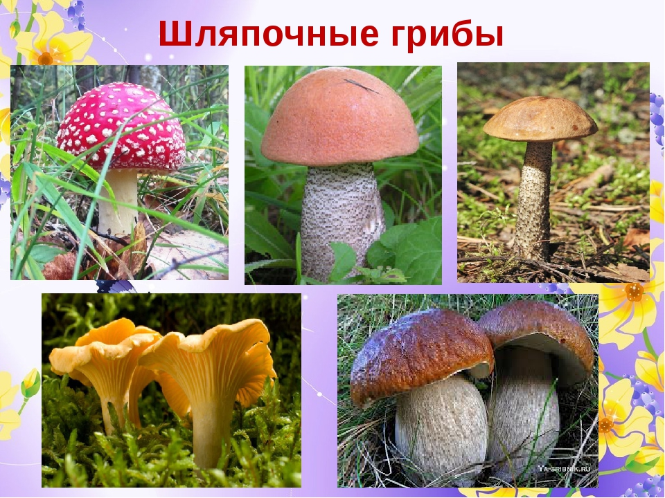 грибы шляпочные картинки василевский итогам сезона