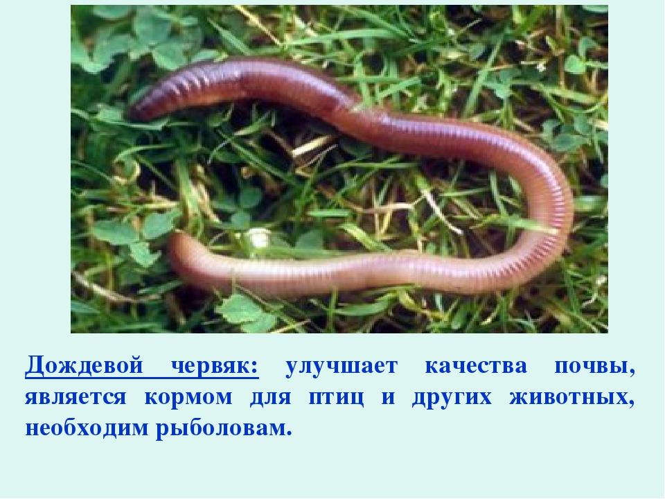 Дождевой червяк: улучшает качества почвы, является кормом для птиц и других ж...