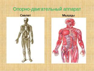 Опорно-двигательный аппарат Скелет Мышцы