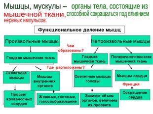 Функциональное деление мышц Произвольные мышцы Скелетные мышцы Непроизвольные