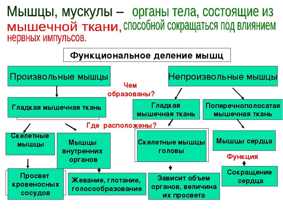 Функциональное деление мышц Произвольные мышцы Скелетные мышцы Непроизвольные...