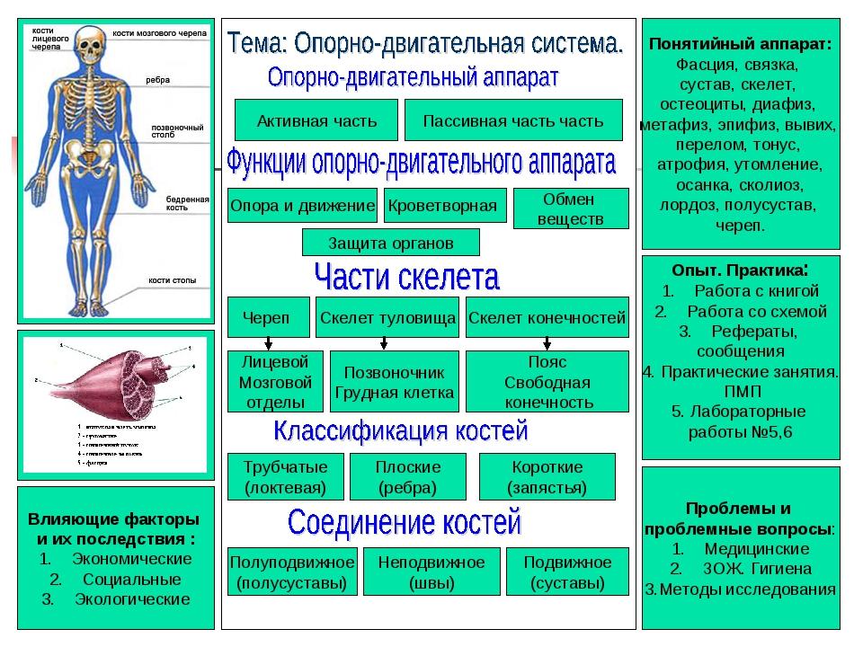 Понятийный аппарат: Фасция, связка, сустав, скелет, остеоциты, диафиз, метафи...