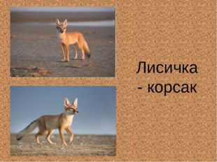Лисичка - корсак