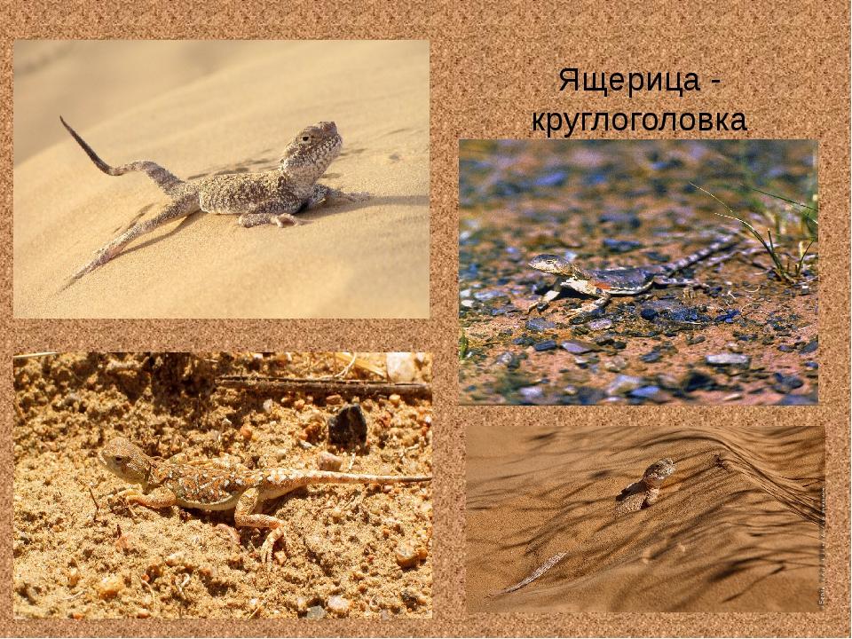 Ящерица - круглоголовка