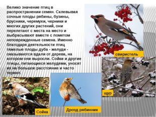 Велико значение птиц в распространении семян. Склевывая сочные плоды рябины,