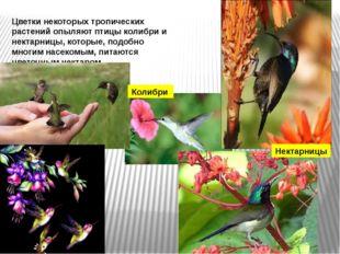 Цветки некоторых тропических растений опыляют птицы колибри и нектарницы, кот