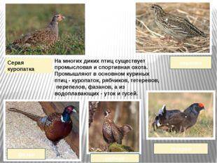 На многих диких птиц существует промысловая и спортивная охота. Промышляют в