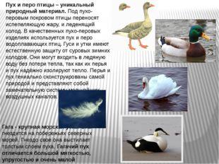Гага - крупная морская утка. Она гнездится на побережьях северных морей. Гнез