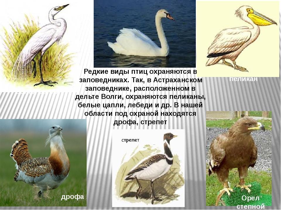 Редкие виды птиц охраняются в заповедниках. Так, в Астраханском заповеднике,...