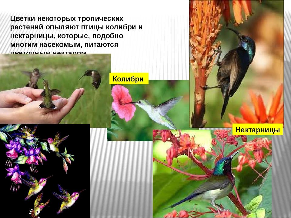 Цветки некоторых тропических растений опыляют птицы колибри и нектарницы, кот...