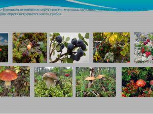 В Ямало-Ненецком автономном округе растут морошка, брусника, клюква, голубика