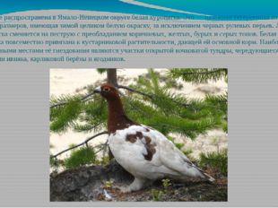 Наиболее распространена в Ямало-Ненецком округе белая куропатка. Это — наземн