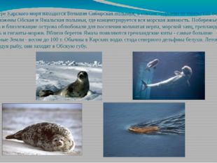 В центре Карского моря находится Большая Сибирская полынья, а совсем недалеко