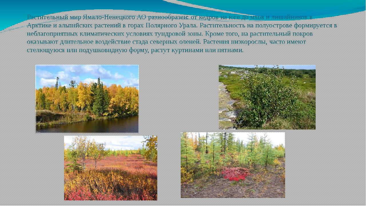 Растительный мир Ямало-Ненецкого АО разнообразен: от кедров на юге до мхов и...