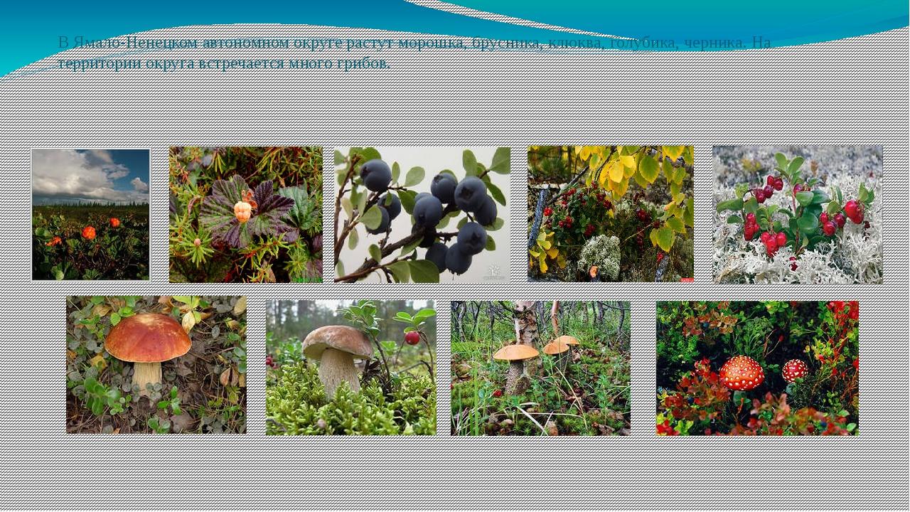 В Ямало-Ненецком автономном округе растут морошка, брусника, клюква, голубика...