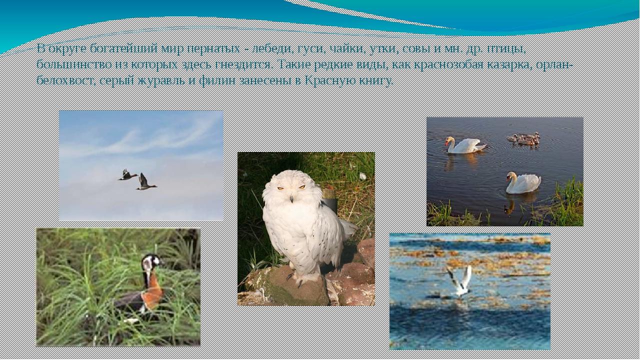 В округе богатейший мир пернатых - лебеди, гуси, чайки, утки, совы и мн. др....