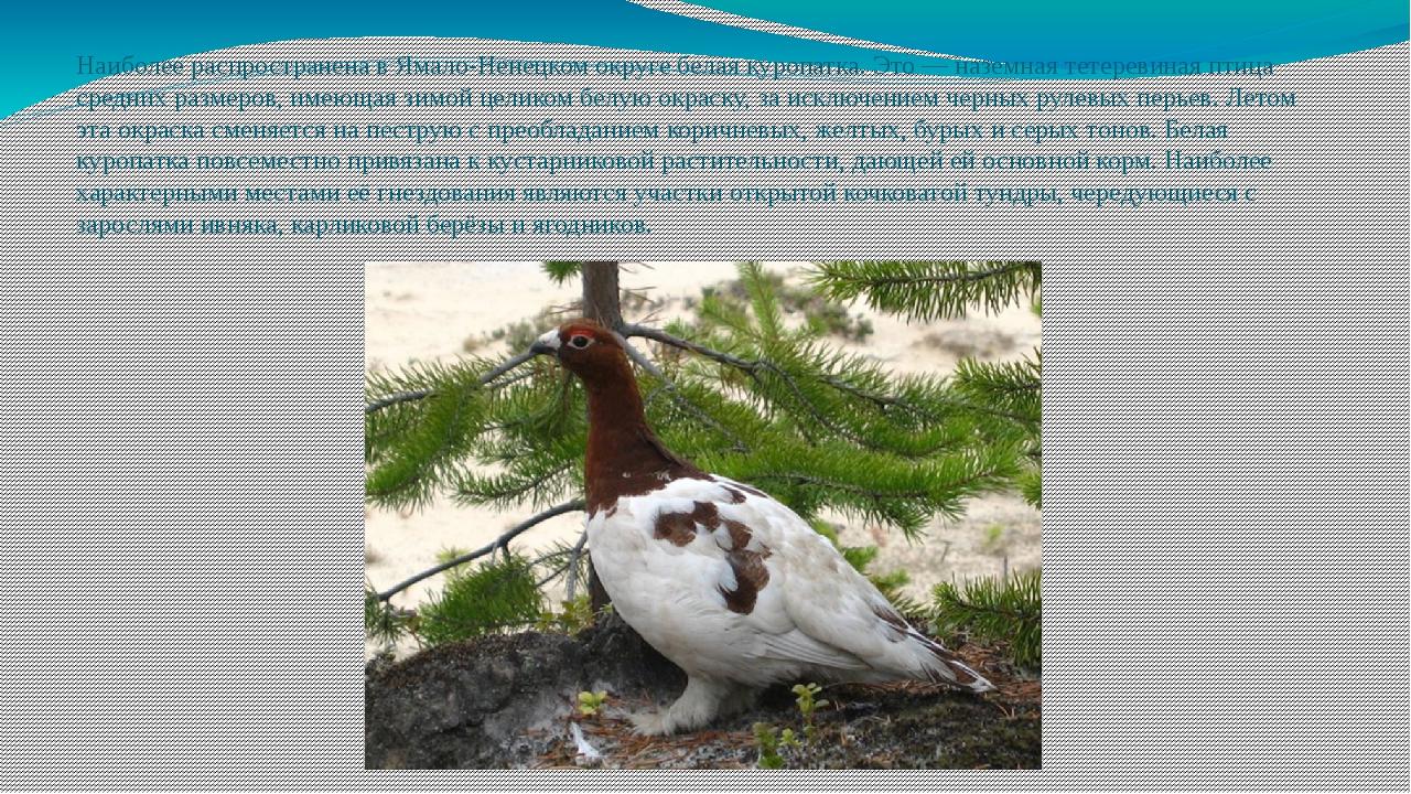 Наиболее распространена в Ямало-Ненецком округе белая куропатка. Это — наземн...