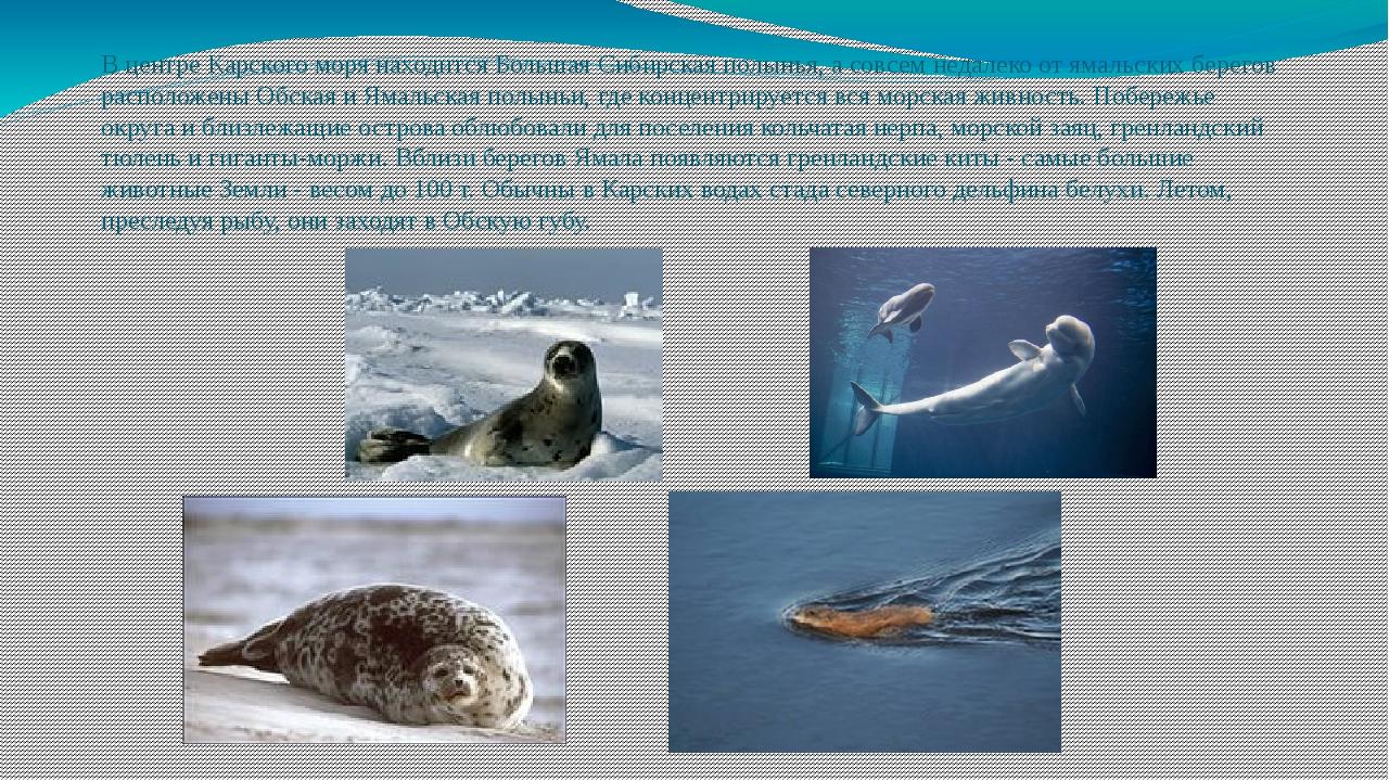 В центре Карского моря находится Большая Сибирская полынья, а совсем недалеко...
