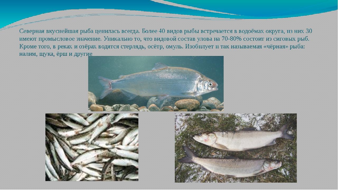 Северная вкуснейшая рыба ценилась всегда. Более 40 видов рыбы встречается в...
