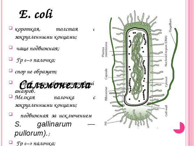 Е. coli короткая, толстая с закругленными концами; чаще подвижная; Гр «–» па...