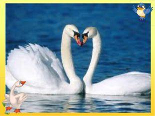 Білосніжні, гарні птиці Дім будують на водиці, Дуже схожі на гусей, Обережні