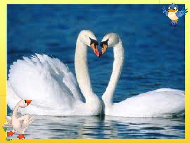 Білосніжні, гарні птиці Дім будують на водиці, Дуже схожі на гусей, Обережні...