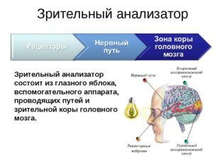 Зрительный анализатор Зрительный анализатор состоит из глазного яблока, вспом