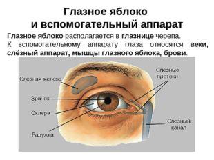 Глазное яблоко и вспомогательный аппарат Глазное яблоко располагается в глазн