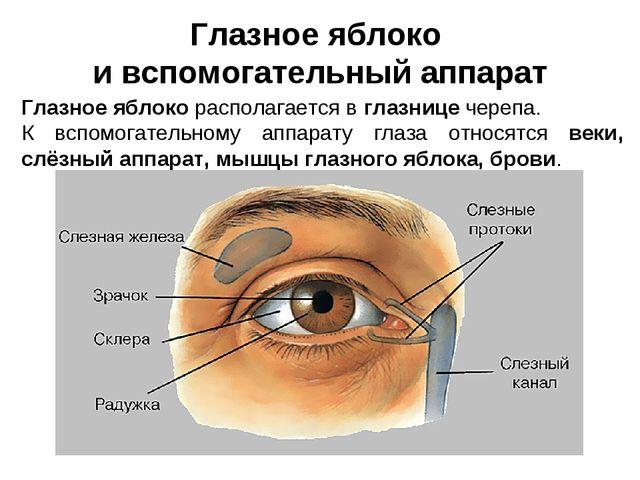 Глазное яблоко и вспомогательный аппарат Глазное яблоко располагается в глазн...