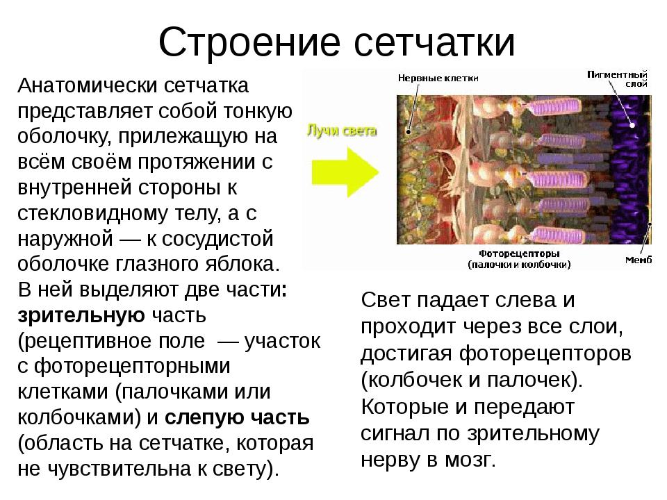 Строение сетчатки Анатомически сетчатка представляет собой тонкую оболочку, п...