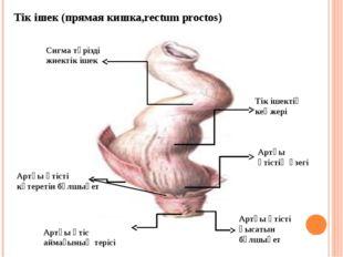 Тік ішек (прямая кишка,rectum proctos) Сигма тәрізді жиектік ішек Тік ішектің