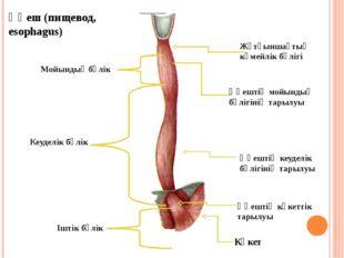 Өңеш (пищевод, esophagus) Жұтқыншақтың көмейлік бөлігі Өңештің мойындық бөліг