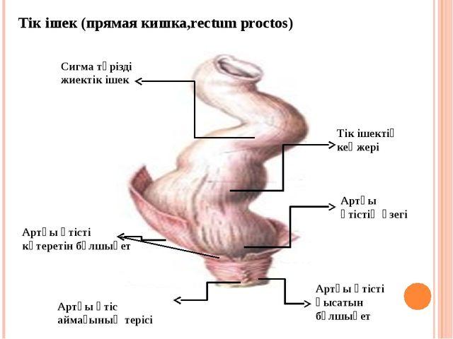 Тік ішек (прямая кишка,rectum proctos) Сигма тәрізді жиектік ішек Тік ішектің...