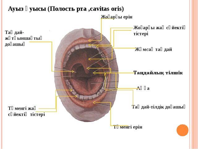 Ауыз қуысы (Полость рта ,cavitas oris) Жоғарғы ерін Жоғарғы жақ сүйектің тіст...