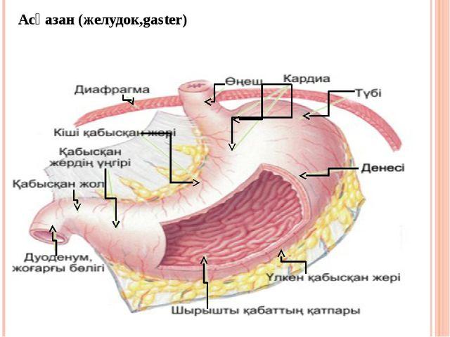 Асқазан (желудок,gaster)