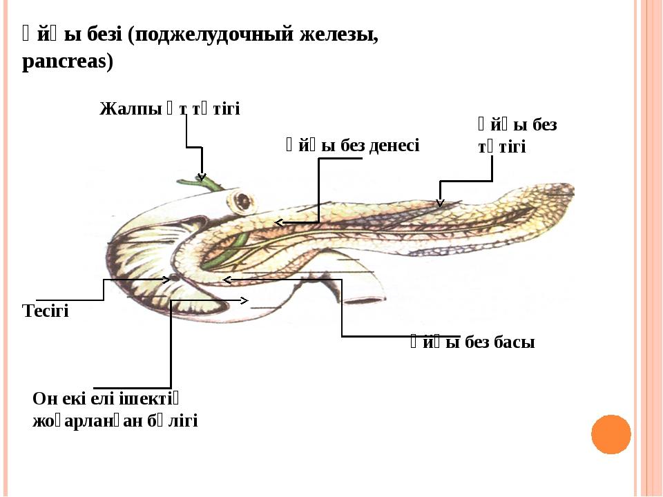 Ұйқы безі (поджелудочный железы, pancreas) Жалпы өт түтігі Ұйқы без денесі Ұй...