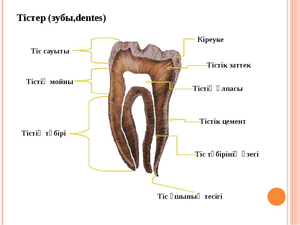 Тістер (зубы,dentеs) Кіреуке Тістік заттек Тістің ұлпасы Тістік цемент Тіс тү...