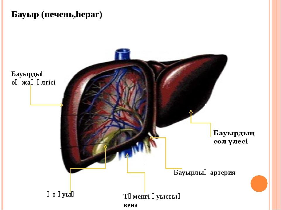 Бауыр (печень,hepar) Өт қуық Бауырдың сол үлесі Бауырлық артерия Төменгі қуыс...