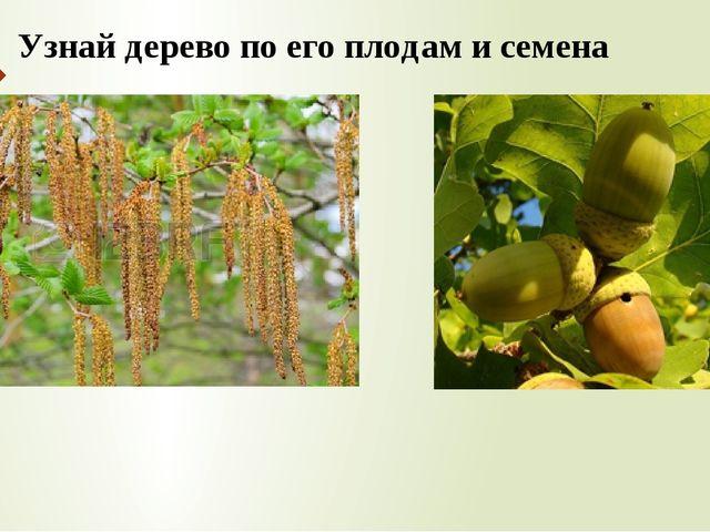 Узнай дерево по его плодам и семена