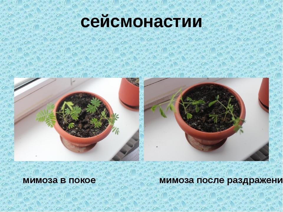 сейсмонастии мимоза в покое мимоза после раздражения